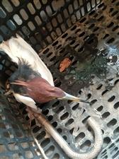 捡到一只受伤的鸟,有认识是什么品种的吗?