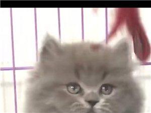 出售各种名猫