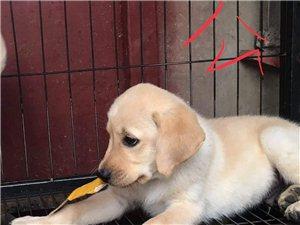 自家養的拉布拉多狗狗,低價出售