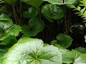 罕�稀有植物――大�秋L草