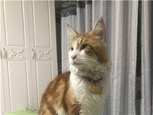 鸿基名苑丢失一只猫,名字叫九月