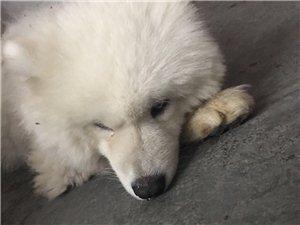 請失主領回您的愛犬白色薩摩耶