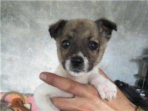 中华田园犬10元领养,2个月大,小母狗