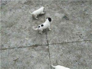 杜高犬幼犬有喜欢的朋友可以联系我