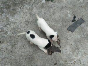杜高犬幼犬有喜欢的朋友可以扣我