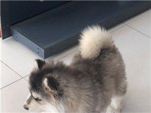 出售4��月大阿拉斯加犬