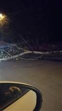 树被刮倒,横到路中央