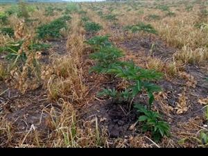 出售除草劑 芍藥地  白鮮皮地 專用除草劑  啥草都藥 不傷苗。