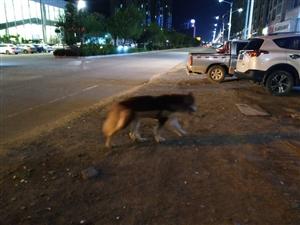 名贵狗狗寻主人,疑似阿拉斯加犬被遗失
