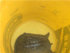 出售野生甲鱼