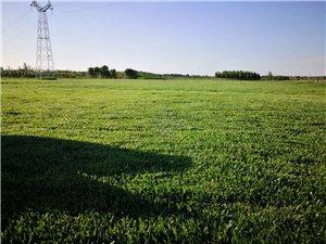 清河正西200亩草坪基地,常年大量出售草坪