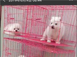 出售各种宠物狗