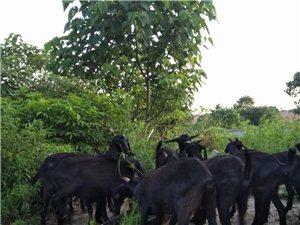 出售优质黑山羊种母羊共有二十几头一头种公羊。