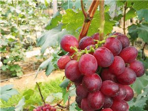 多品種葡萄批發零售采摘,無花果秋果生長中