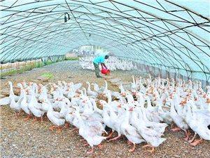 轉讓養鵝廠及一萬多只大鵝和小鵝