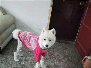 萨摩耶成年犬寻找