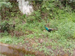镇巴简池镇人工饲养的孔雀