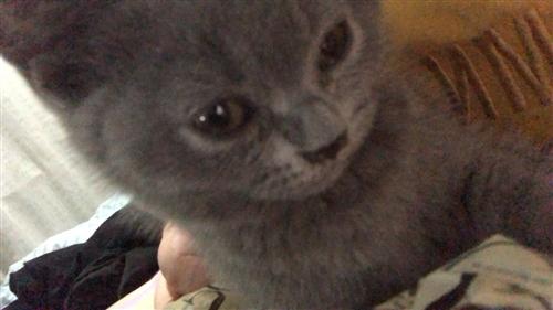 英短純種藍貓2個半月大 因時間原因不想養了  1500元  價格可議  送籠子和貓糧