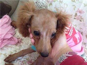 本人一�廴�泰迪,����剃毛,今天9�c多在博文苑小�^�γ�G失,名叫��F,耳朵和尾巴上的毛�]有剃,望有看�