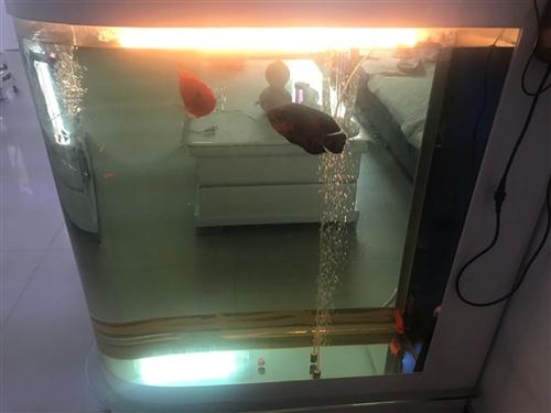 成品屏風魚缸,帶一條地圖兩條鸚鵡一起出售。