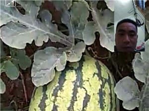 自家種的大西瓜 沒有時間賣批發出去
