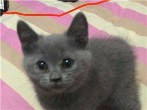 英短蓝猫出售