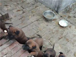 精品黑红马犬幼犬