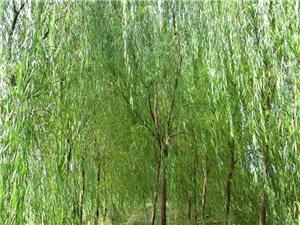 河北药都安国出售苗木垂柳8到15公分