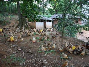 土鸡蛋――龙湖镇全家塘村农家养殖场