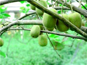 重庆欧慈猕猴桃种植股份合作社