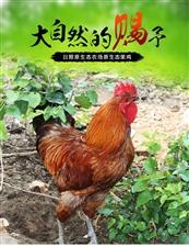 莱阳本地跑山鸡养殖基地