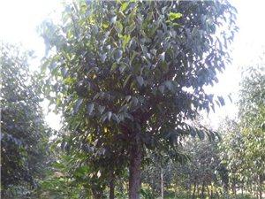 出售杜仲树(1--15公分),杜仲苗,