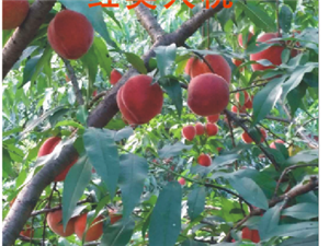 塔峰鎮東江村出售黃桃、油桃、水蜜桃、青桃