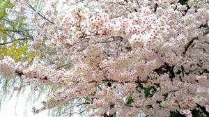 樱花树下(手机摄影)