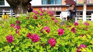 啊!牡丹!百花丛中最鲜艳!(手机摄于天汉长街)