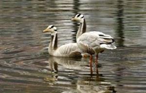 佛坪县椒溪河流域首次发现斑头雁