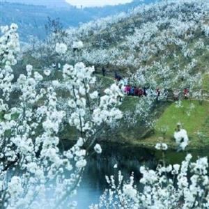 汉中西乡樱花大面积绽放