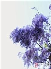 紫藤花开,暗香浮动