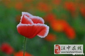 汉中汉江边虞美人