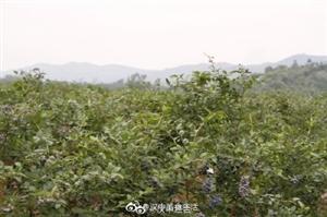 汉中新鲜的大蓝莓,承包了5月的美好!