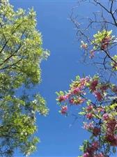 五月槐花香
