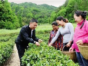 南郑沙坝村三季茶飘香