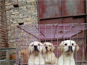 出售三个多月拉布拉多幼犬,驱虫疫苗已做完