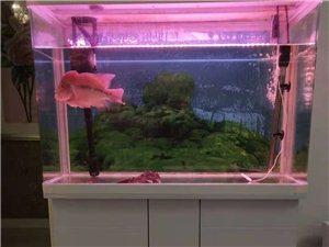 自家罗汉鱼带鱼缸出售