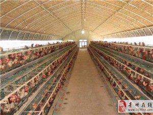新式养鸡大棚建设