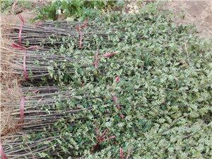 优质花椒树苗