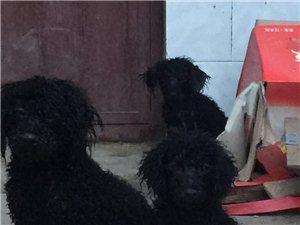 新密本地出售泰迪犬